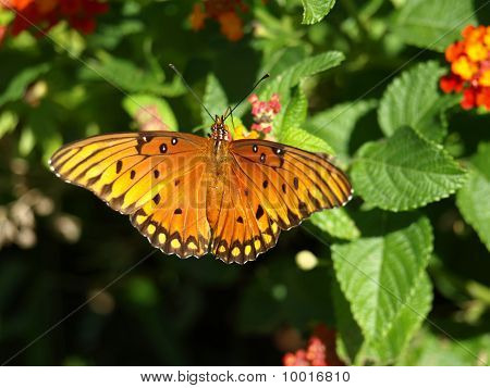Butterfly With Wings Fully Spread