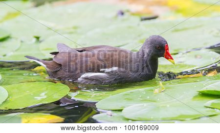 Common Moorhen, Gallinula Chloropus