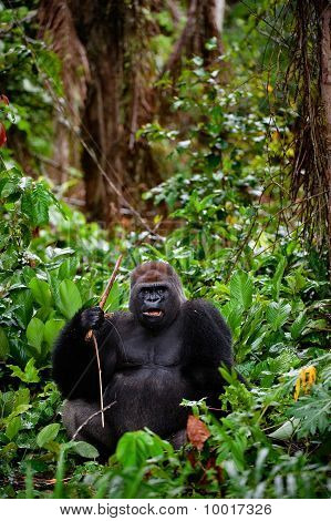 Portrait Of Male Western Lowland Gorilla.