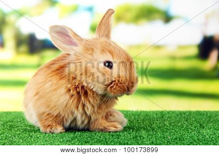 Fluffy foxy rabbit on grass in park