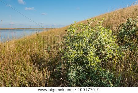 Wild Plants At A Dutch Dike In Summertime