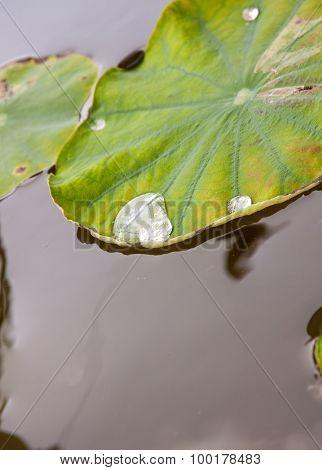 Water On A Lotus Leaf