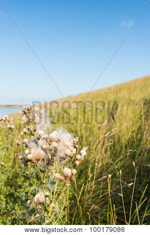 Seed Heads Of Spear Thistle Plants In The Roadside