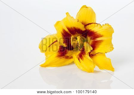 Brown Yellow Dayliliy On White Background, Copy Space