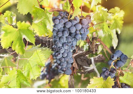Black grapes hanging on the vine in the sun