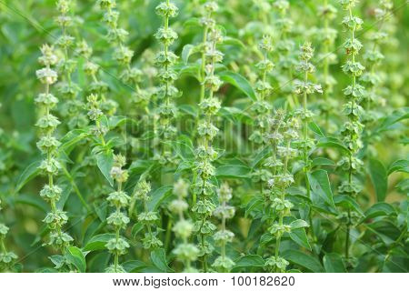 Hairy basil flower