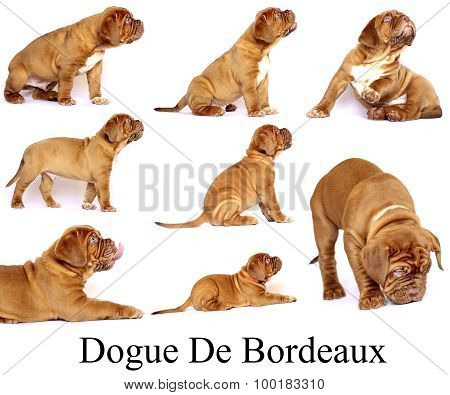Puppies Dogue de Bordeaux