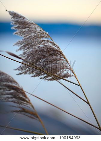 Reeds Inflorescences