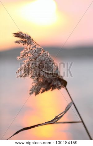 Reed Inflorescence