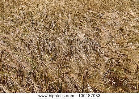 background wheat field