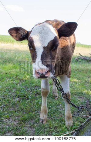 Calf Looks