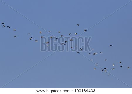 Flock of doves flying in sky.