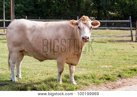 White Hereford Cow