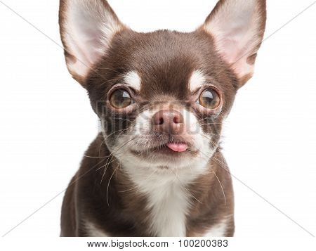 Cute chihuahua dog close up portrait
