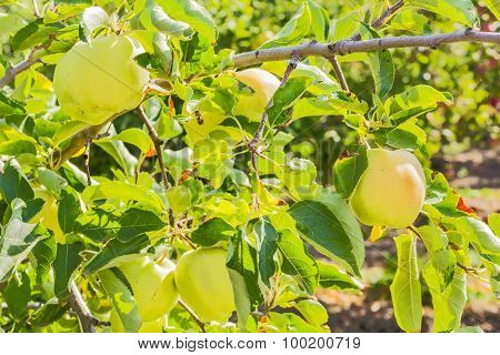 Apples On A Branch In A Sunny Garden