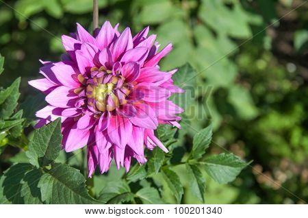Chrysanthemum In A Garden