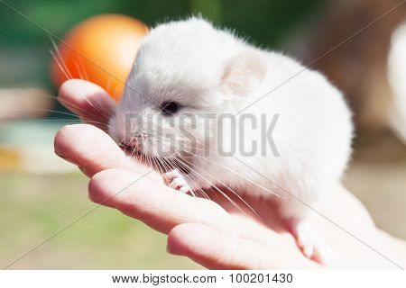Little Chinchilla In The Hand