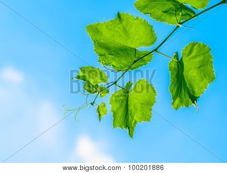 Vines and leaves against
