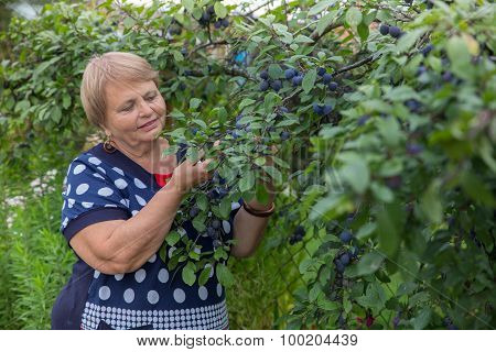 Senior woman collects plums