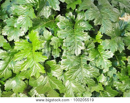 Dense green leave wall background