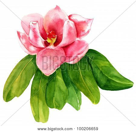 A vintage style watercolour drawing of a pink magnolia on white background