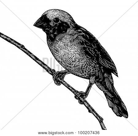 Illustrated sketch of a songbird in scratchboard style