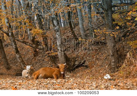 Cow Lying In The Autumn Forest