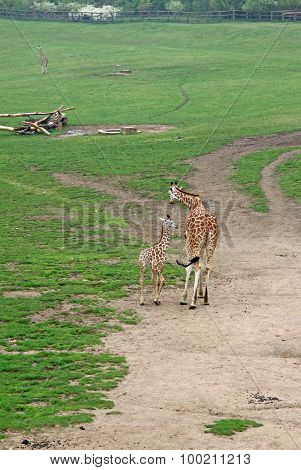 Giraffes In A Zoo