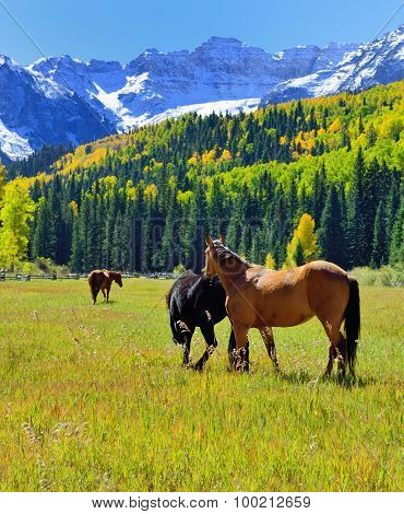 Grazing Mustang In The Alpine Scenery By Snow Covered Mountains And Yellow Aspen During Foliage Seas