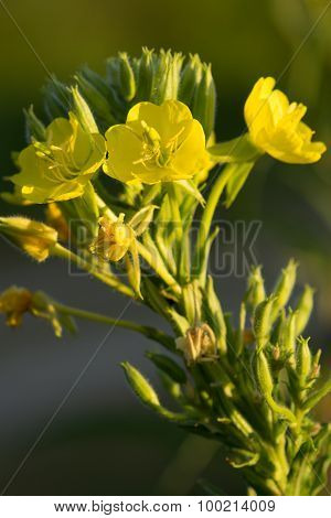 Hairy Evening Primrose Oenothera Villosa Flower