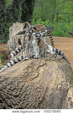 Ring Tailed Lemurs In A Zoo