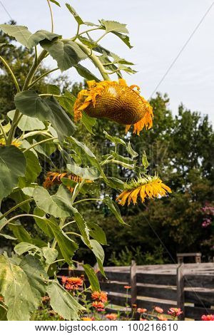 Group of Wilting Sunflowers