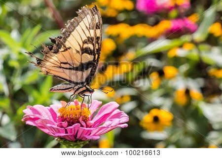 Tiger Swallowtail on Flower