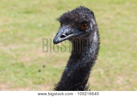 Head and Neck of Emu Looking Left