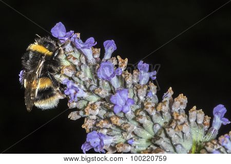 Bumble Bee (bombus Terrestris) Feeding On A Lavender Flower