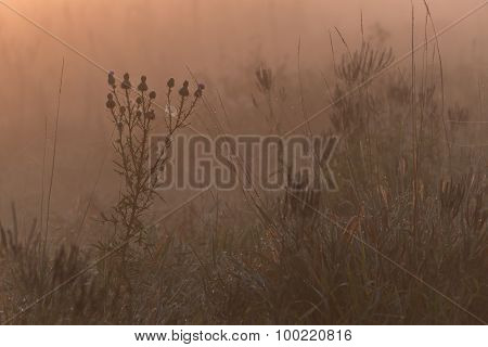 Thistle Fog Orange Glow