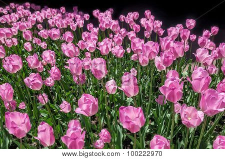 Pink tulips in the sunlight