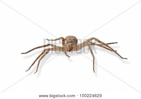 Heteropoda Venatoria Is Brown Spider On White Background, Isolated