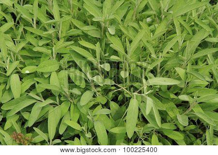 Salvia Plant Background