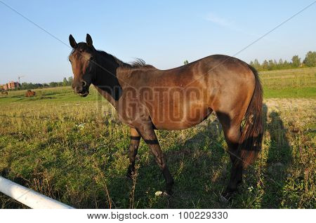 Horse portrait in green field