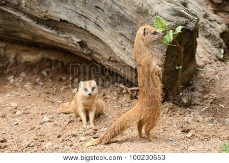 Mongooses In A Zoo
