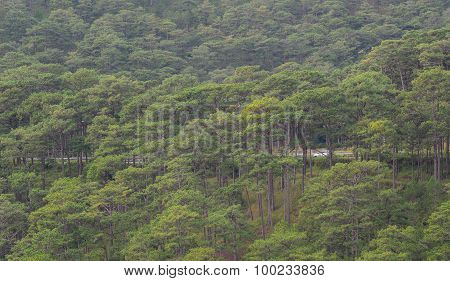 Forrest Of Green Pine Trees