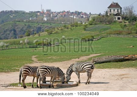 Zebras In a Zoo