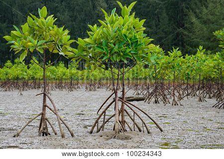 Some mangrove trees near.