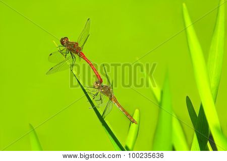 Two Dragonflies Sit On The Green Leaves