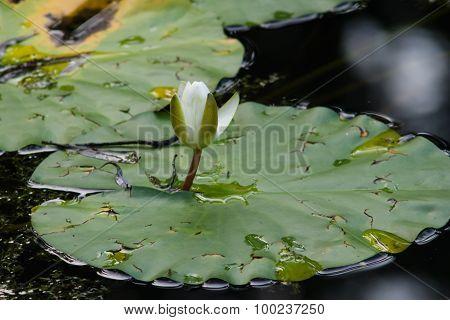 Nymphaea Alba Or European White Waterlily Bud Macro