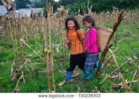 H'Mong ethnic minority children are picking corn in Laocai, Vietnam