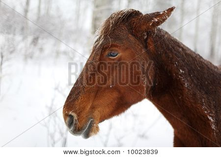 Portrait Horse In Winter Forest