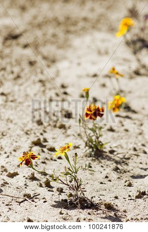 Marigold On Sand Background
