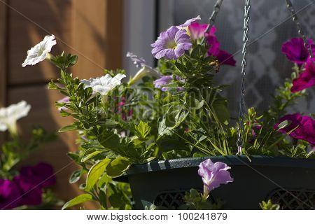 Petunia In Flowerpot